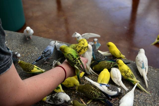 Brookfield Parakeets
