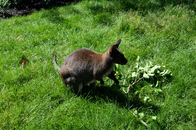 Brookfield Wallaby